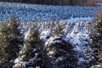 Christmas Trees in our Field under snow