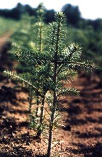 balsam fir seedling how our christmas trees start